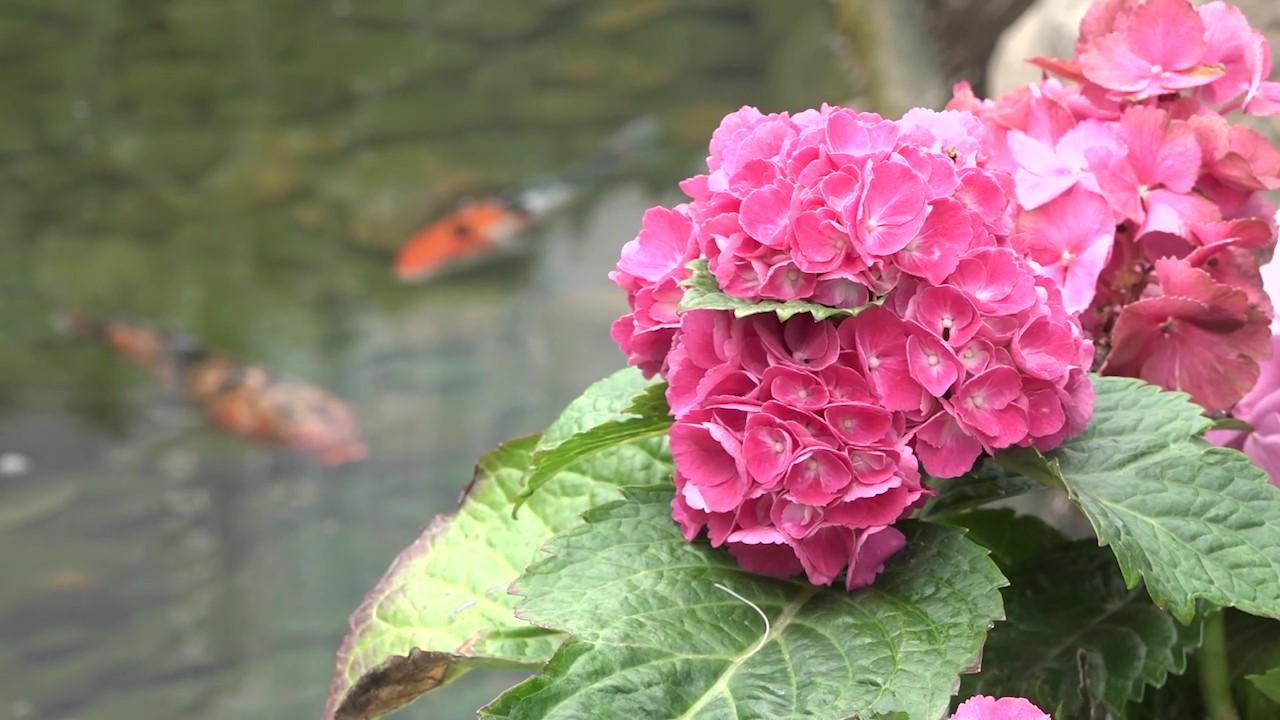 繡球花賞花3熱點
