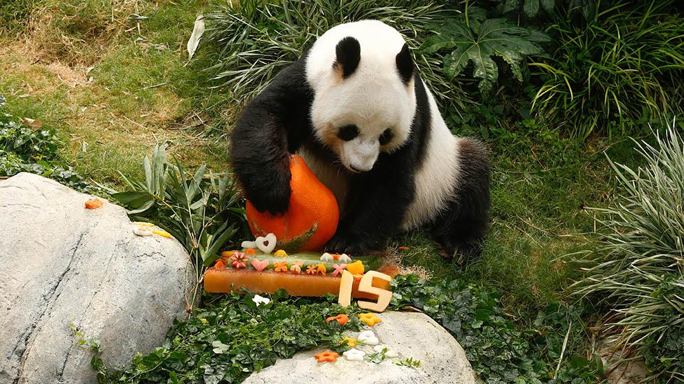 海洋公園為大熊貓安安、樂樂慶祝生日(海洋公園提供、何芍盈剪接)