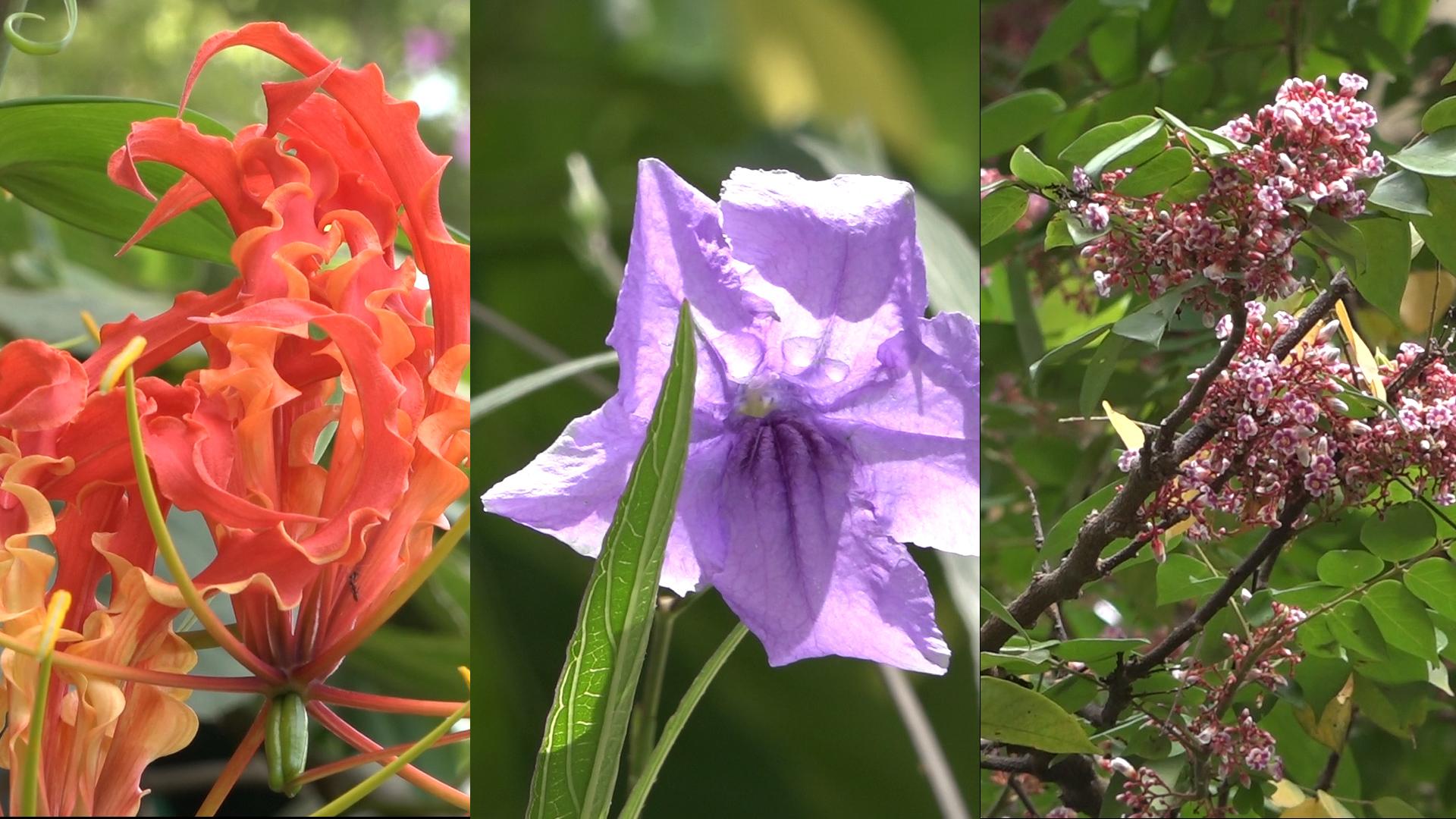 動植物公園9月開花植物:嘉蘭、蘭花草、楊桃